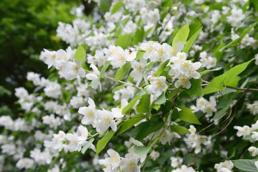 English dogwood (Philadelphus coronarius)