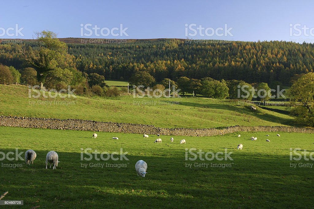 English farm countryside with sheep royalty-free stock photo