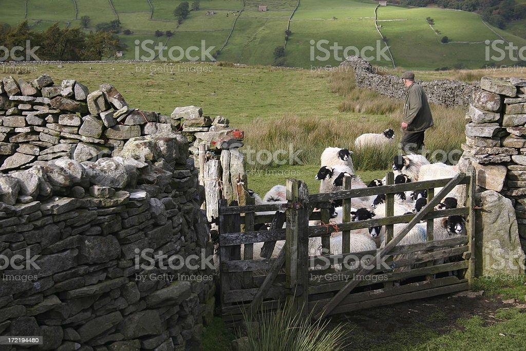 English farmer with sheep royalty-free stock photo
