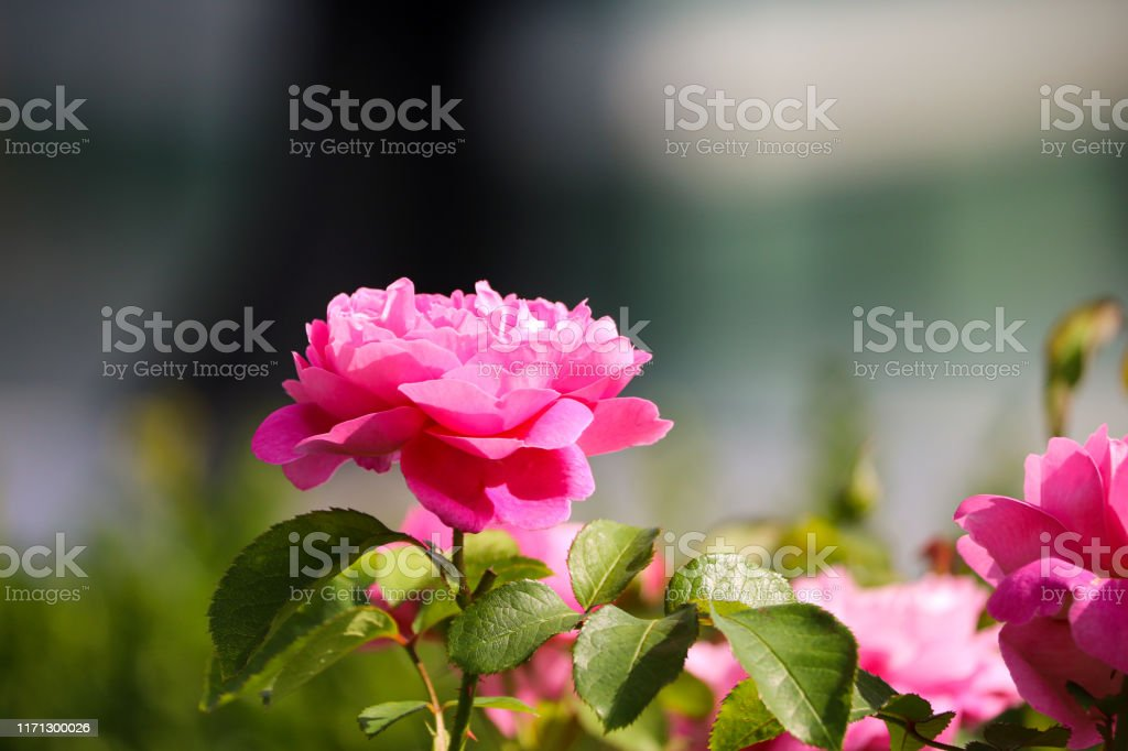 English Garden Flower - Royalty-free Beauty Stock Photo