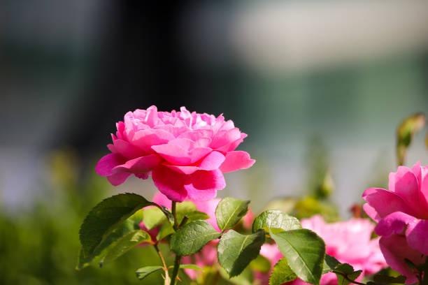 English Garden Flower stock photo
