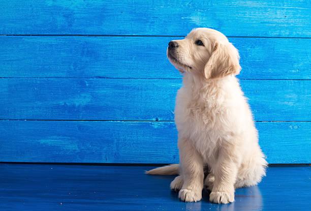 polski złoty retriever szczeniak na niebieski drewna - golden retriever zdjęcia i obrazy z banku zdjęć