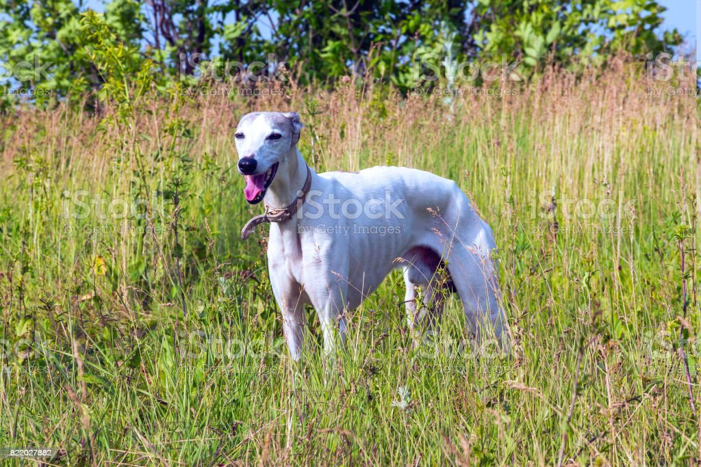 Royalty Free Buff Whippet Pictures Images And Stock Photos Istock