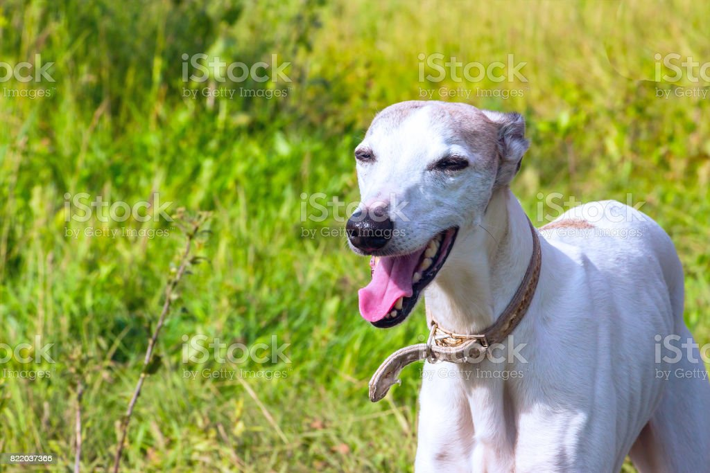English greyhound on a green meadow stock photo