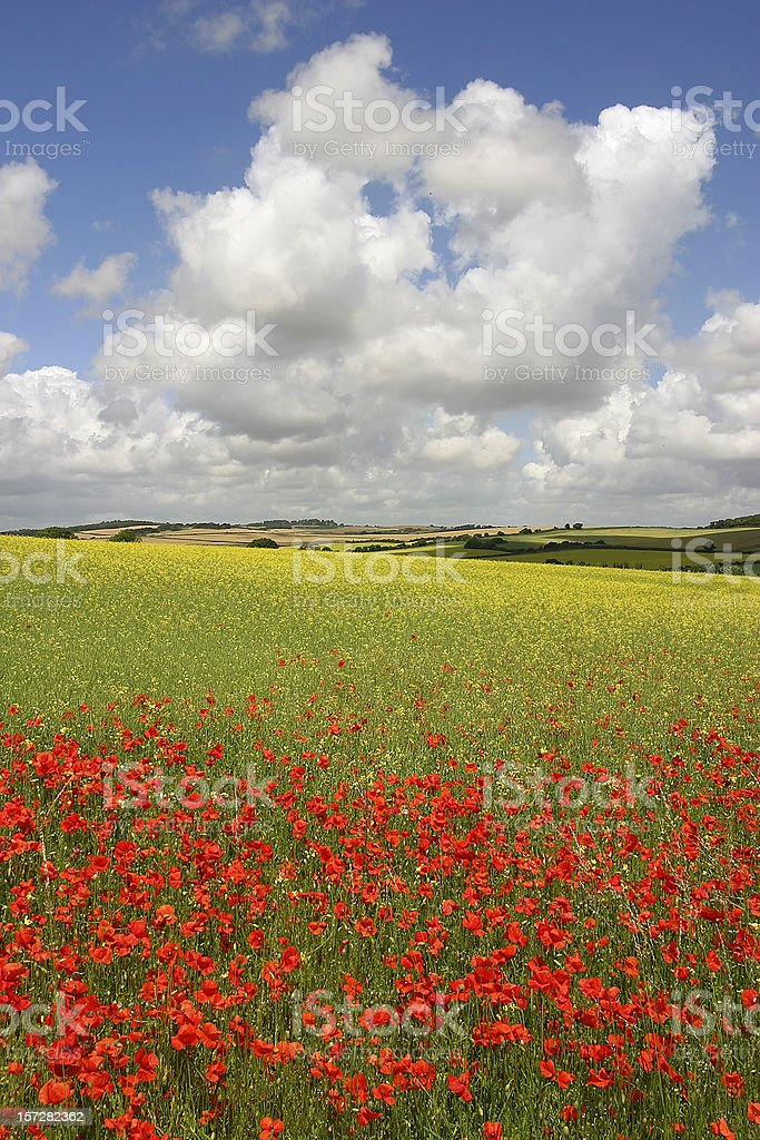 English idyll with poppies royalty-free stock photo