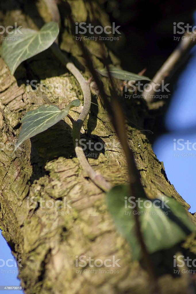 English Ivy on a tree stock photo