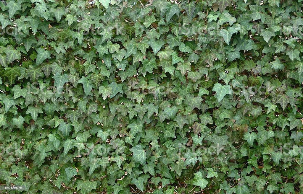English Ivy royalty-free stock photo