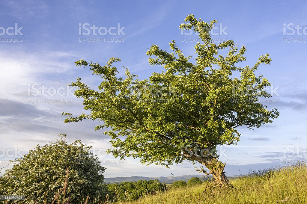 English Lake District: blossoming hawthorn in evening sunlight royalty-free stock photo