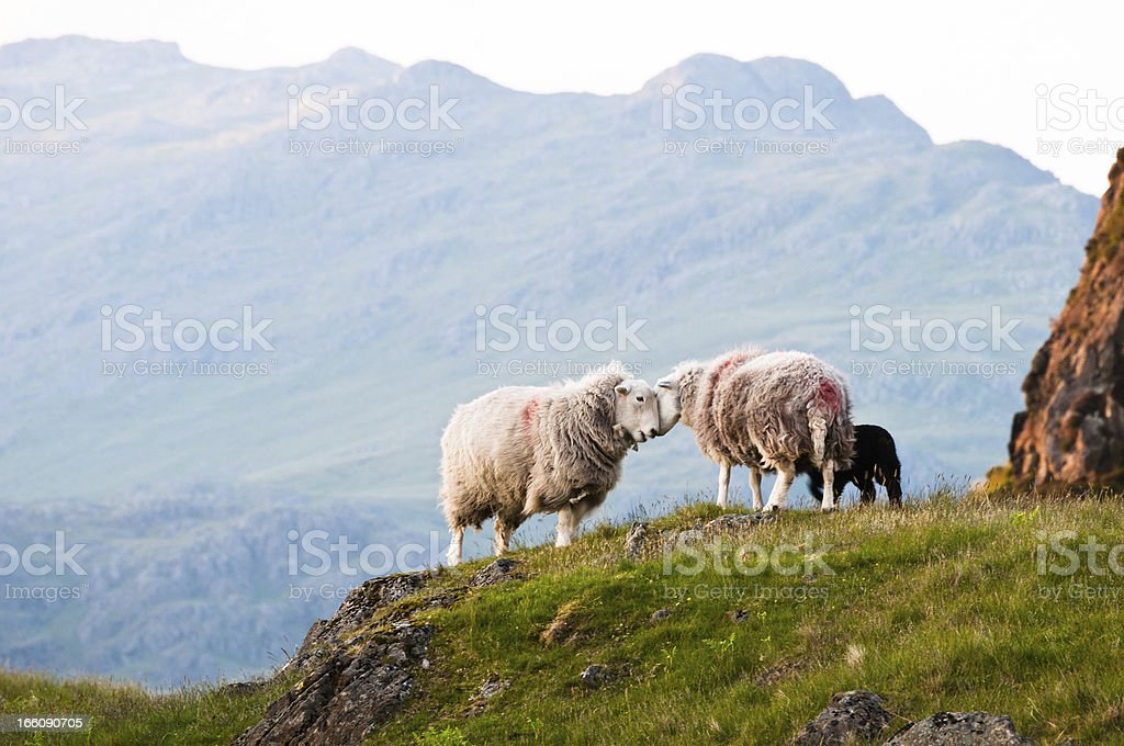 English Lake District: Herdwick sheep stock photo