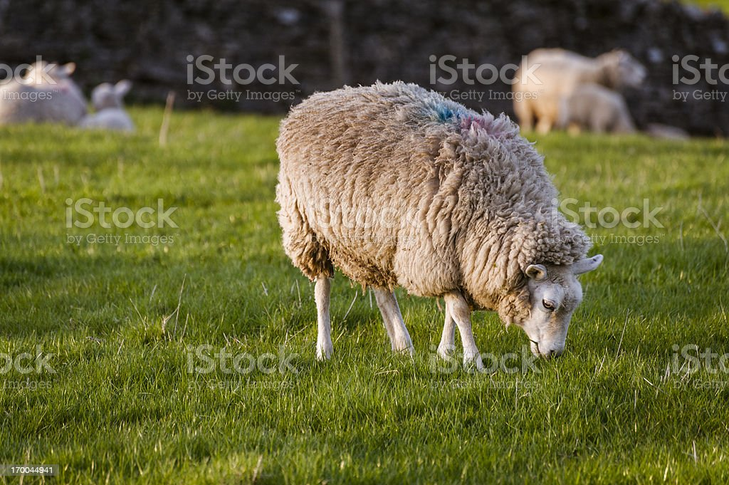 English Lake District: sheep in evening spring sunlight royalty-free stock photo