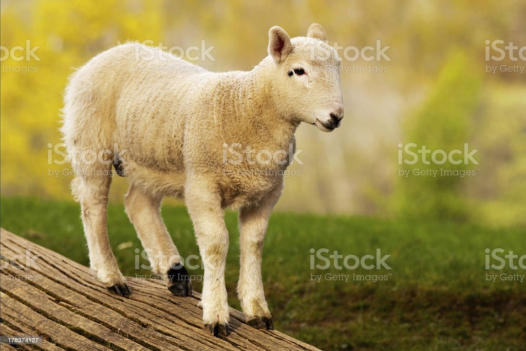 English Lamb stock photo