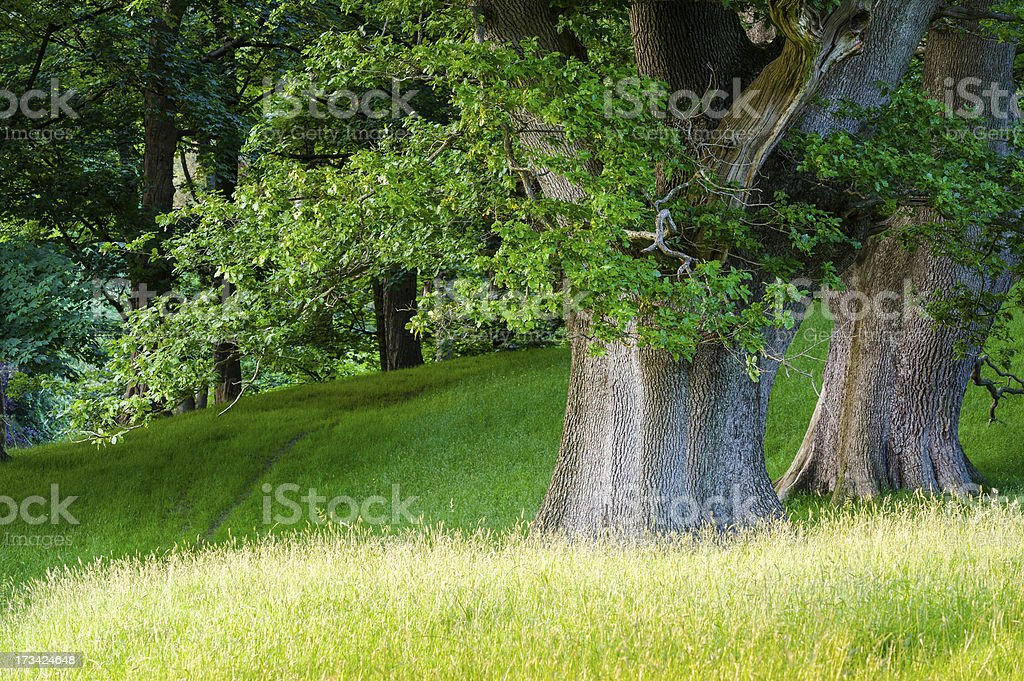 English landscape: oak trees in summer royalty-free stock photo