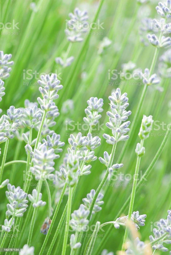 English Lavender (Lavandula angustifolia) 'Hidcote' - III royalty-free stock photo