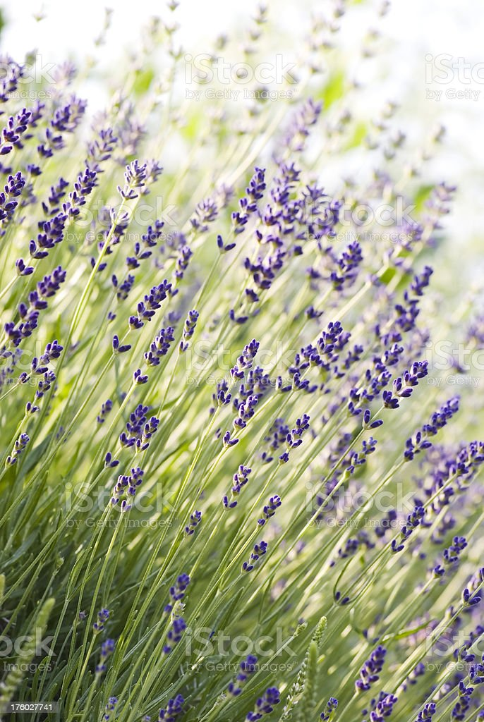 English Lavender (Lavandula angustifolia) 'Munstead' - II royalty-free stock photo