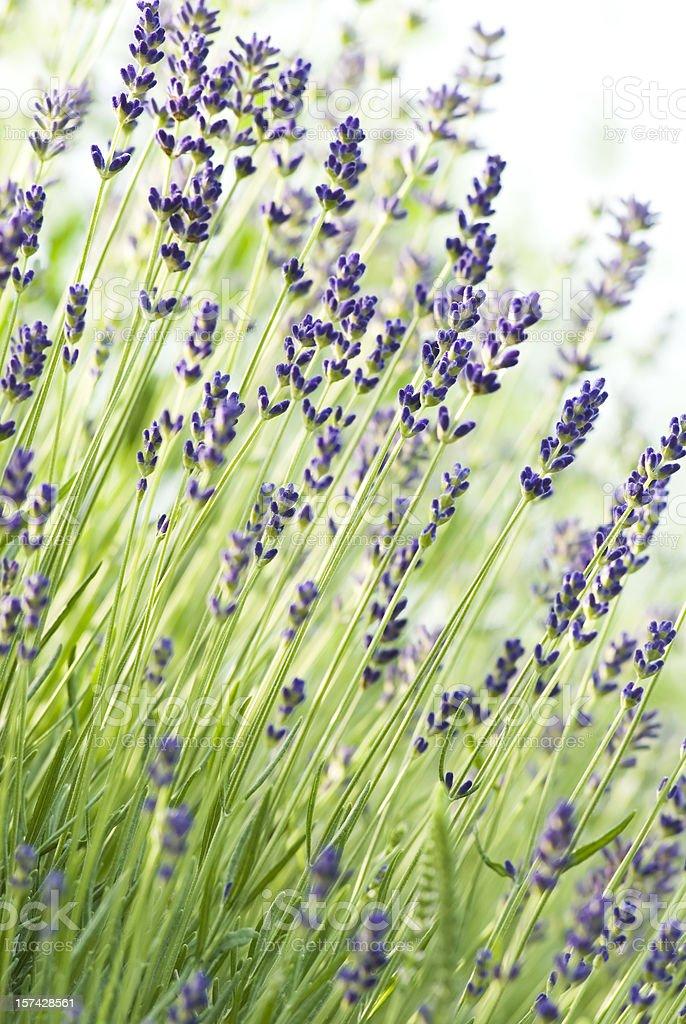 English Lavender (Lavandula angustifolia) 'Munstead' - V royalty-free stock photo