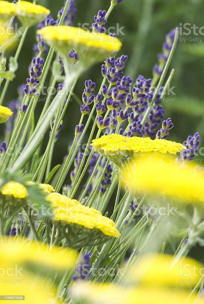 English Lavender (Lavandula angustifolia) 'Munstead' - VIII stock photo