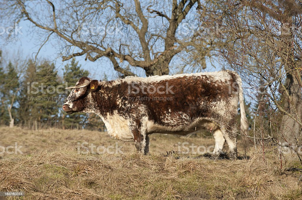 English Long Horn Cow royalty-free stock photo
