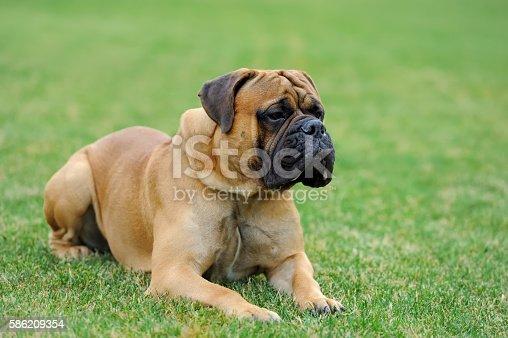 Close English Mastiff dog  in green summer grass