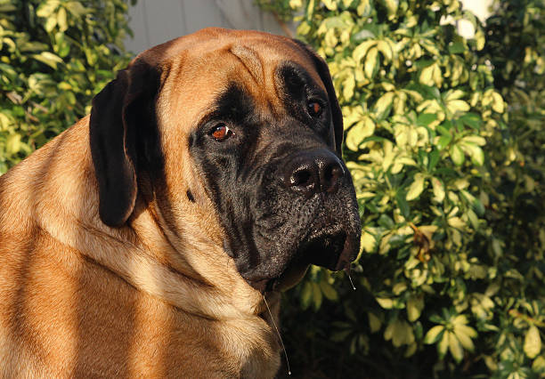 English Mastiff Drooling Billy the Mastiff outside, drooling animal saliva stock pictures, royalty-free photos & images