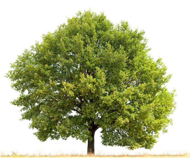 English Oak (Quercus robur) in summer isolated on white. stock photo