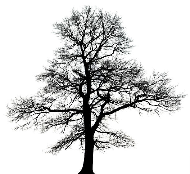 English oak tree (Quercus robur) in winter isolated black_and white. stock photo