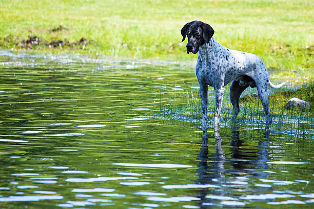 English pointer at the pond stock photo