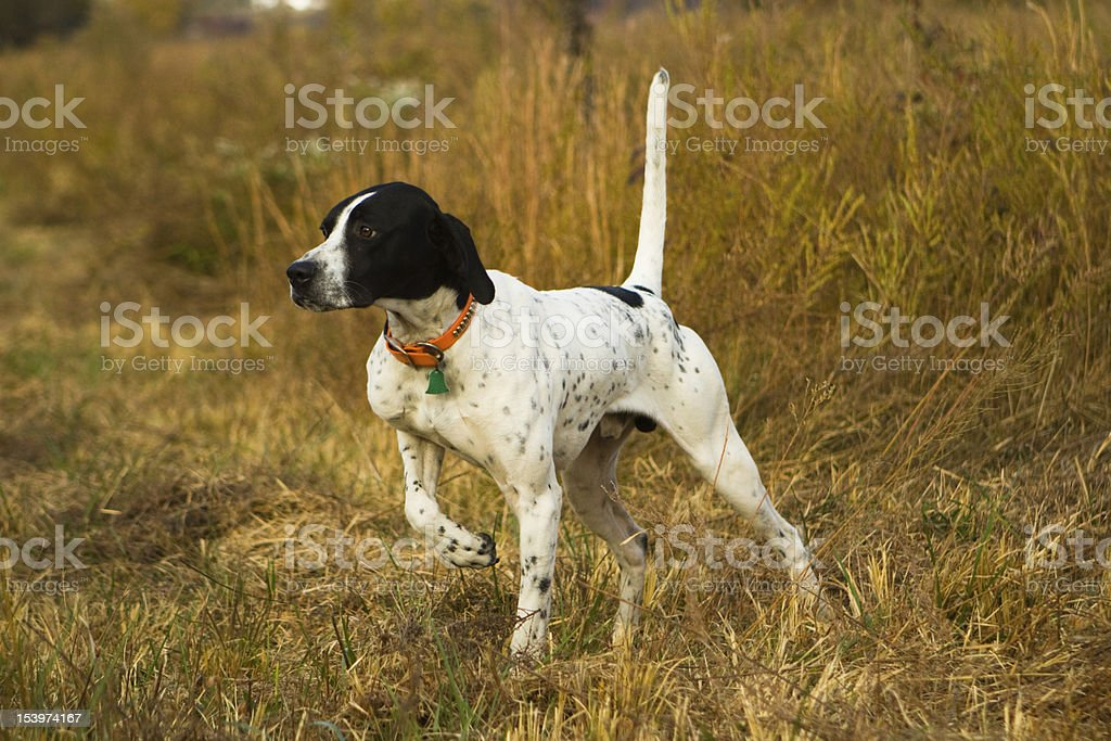 English Pointer on point. royalty-free stock photo