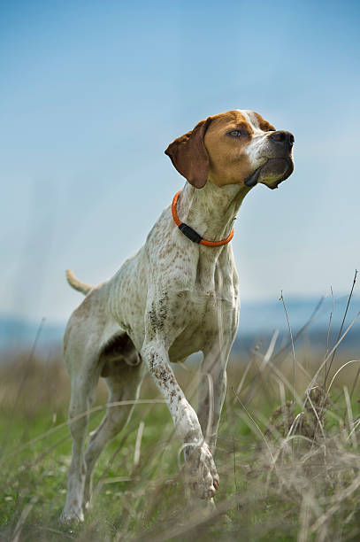 English Pointer on point. English Pointer pointing quail. hunting blind stock pictures, royalty-free photos & images