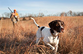 istock English Pointer with Man Upland Bird Hunting in Midwest. 175194561