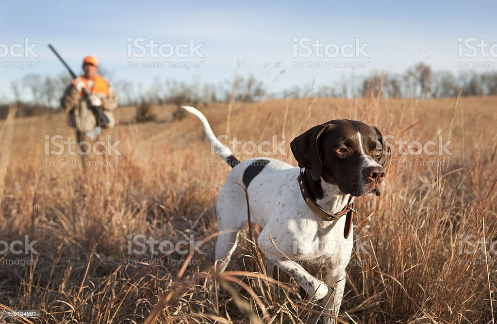 English Pointer with Man Upland Bird Hunting in Midwest. stock photo