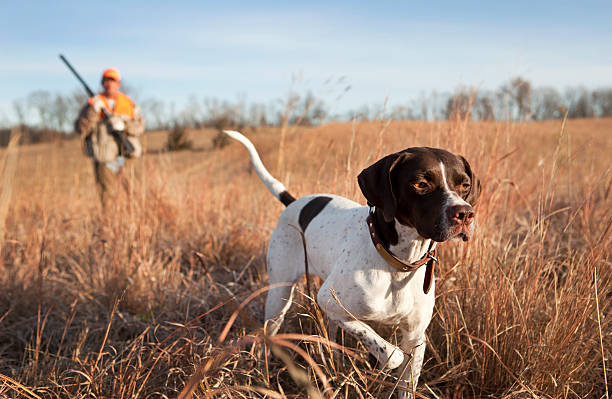 English Pointer with Man Upland Bird Hunting in Midwest. English pointer and man upland bird hunting in the Midwest. hunter stock pictures, royalty-free photos & images