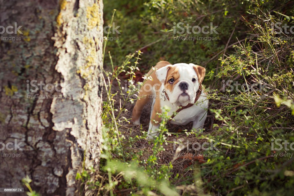 English puppy Bulldog Dog at the forest summer time royalty-free stock photo