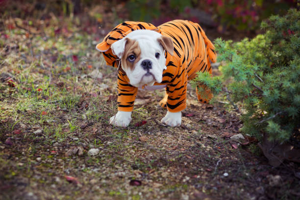 English puppy Bulldog Dog at the forest summer time stock photo
