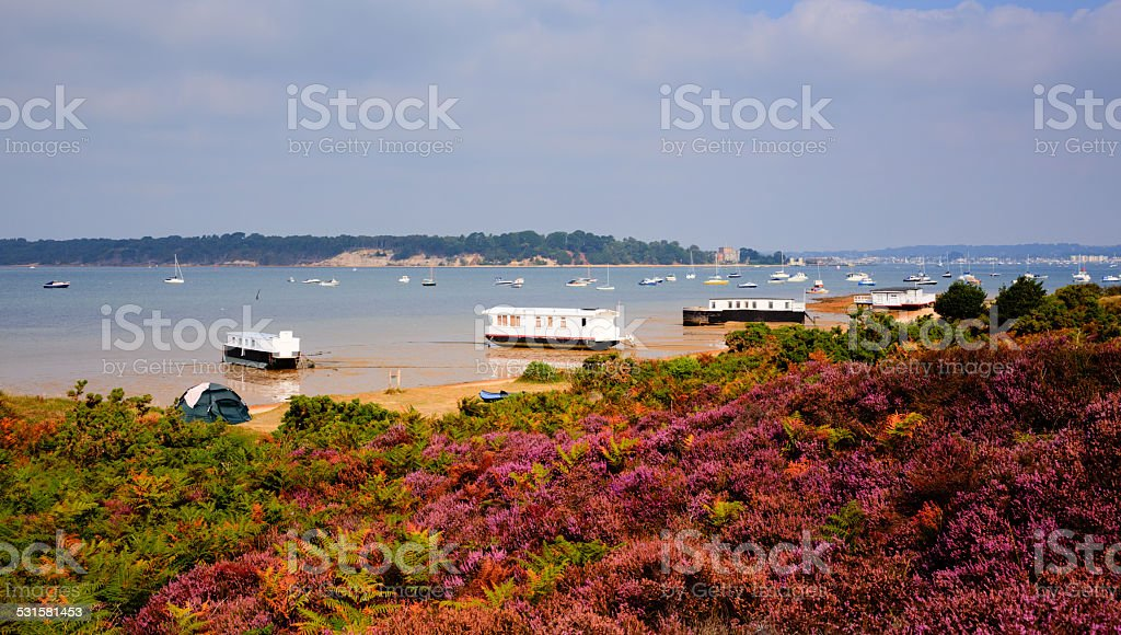 English Purple heather Poole Harbour Dorset England UK stock photo