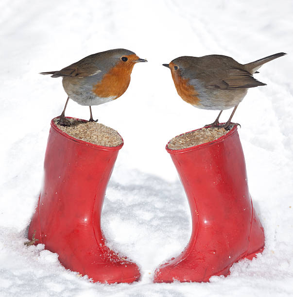 English Robins - European Robin (Erithacus rubecula) stock photo