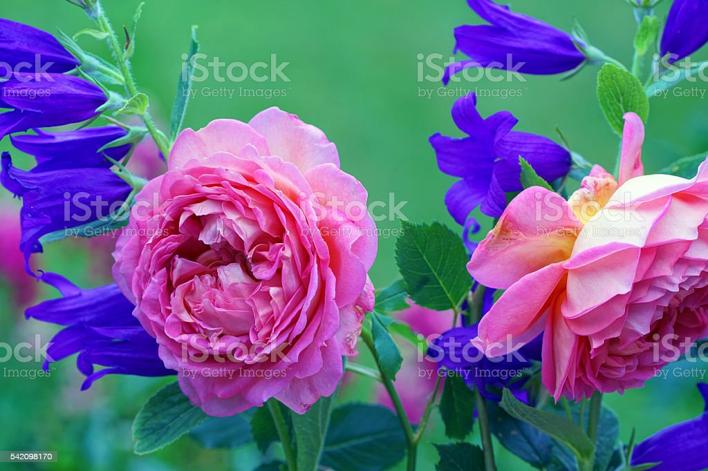 English rose and bellflowers stock photo