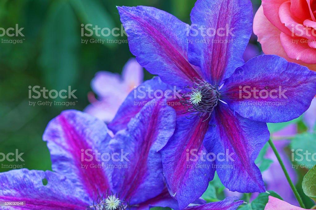 color de rosa y clematis inglés foto de stock libre de derechos
