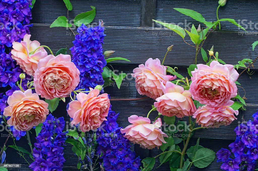 English rose and delphinium stock photo