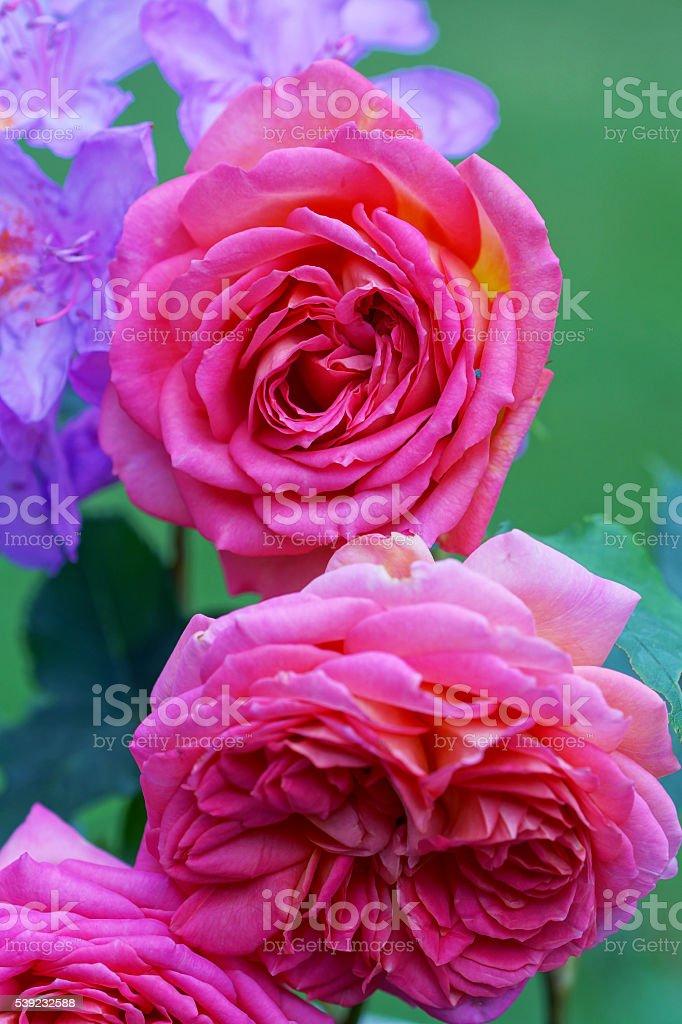 Inglés color de rosa y rododendro foto de stock libre de derechos