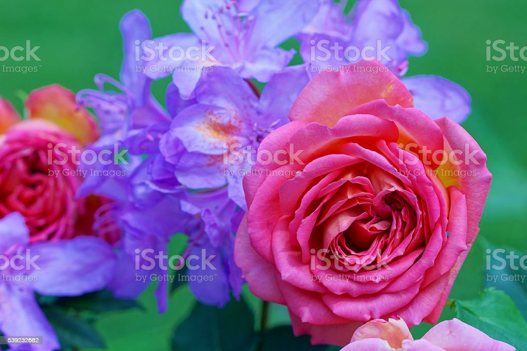 English rose and rhododendron royalty-free stock photo