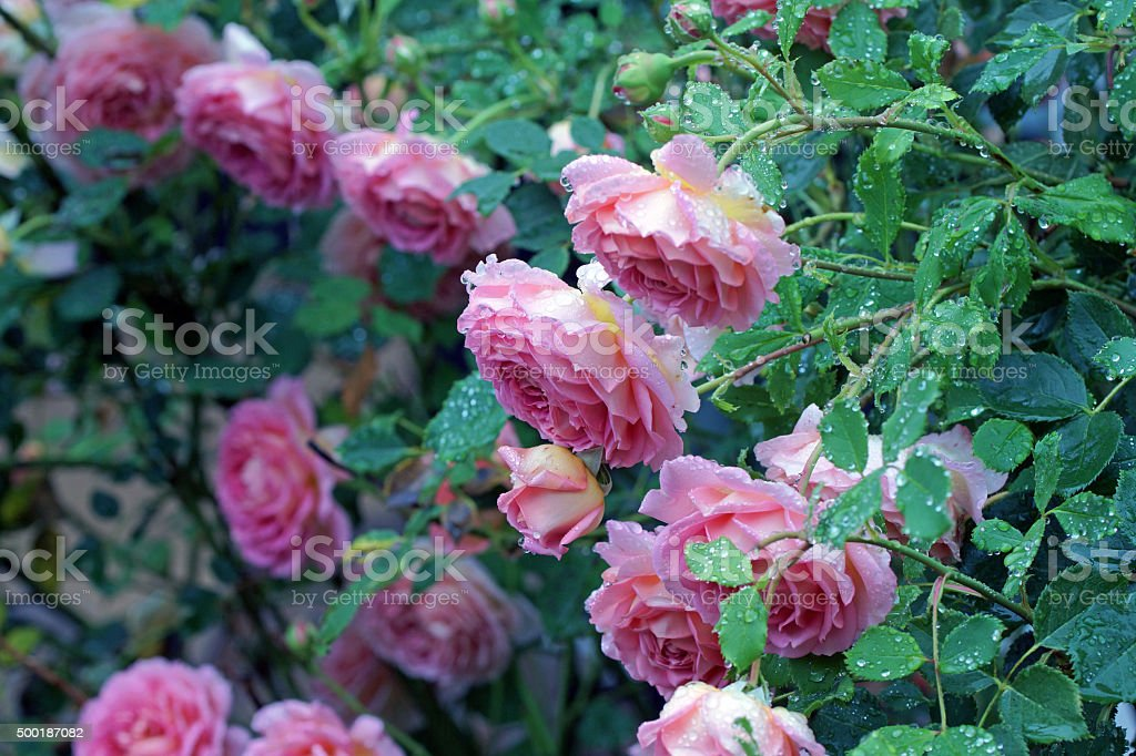 English rose with raindrops stock photo