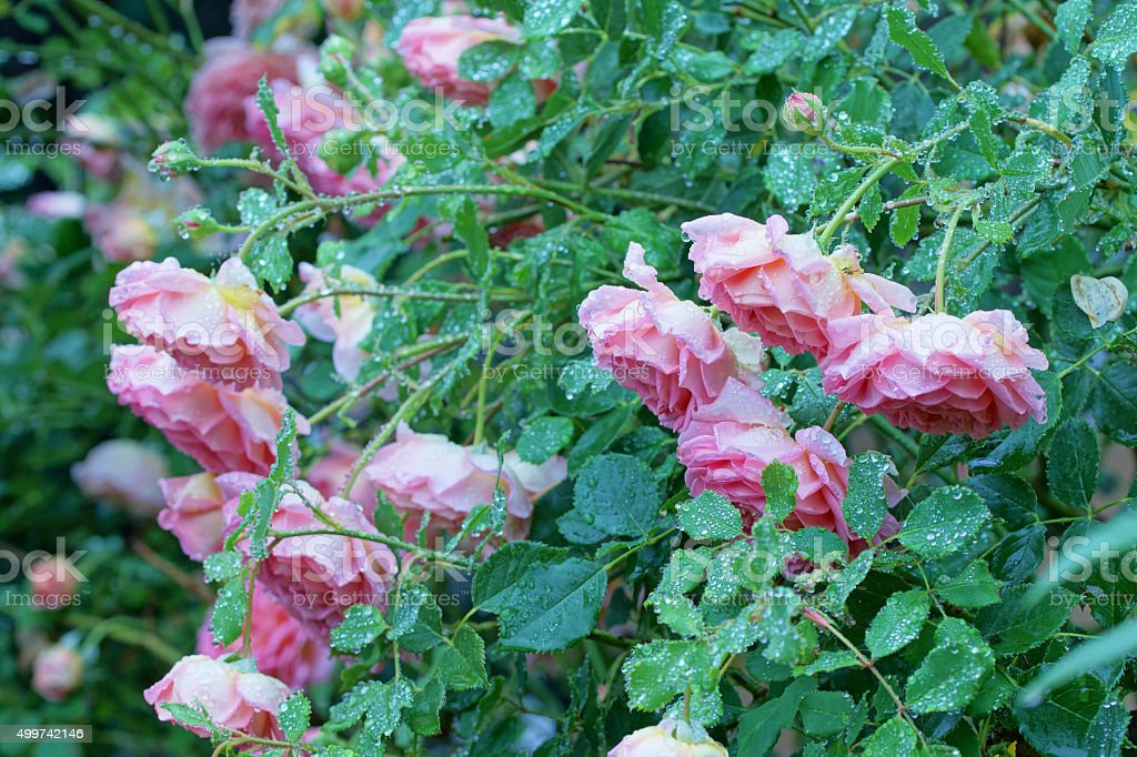 English roses and raindrops stock photo
