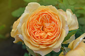 Orange flowering rosa Crown Princess Margareta in garden