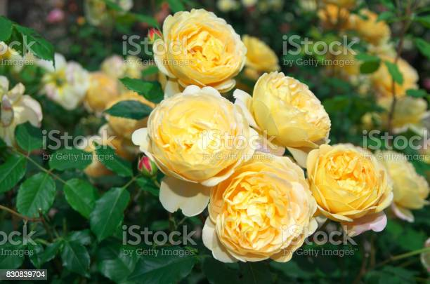 English roses garden in sennan city osaka japan picture id830839704?b=1&k=6&m=830839704&s=612x612&h=mmh3xswlslwh3gwpkk4eumlzki r8noutuwtz3 sy7c=