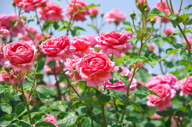English roses garden in sennan city osaka japan picture id830842074?b=1&k=6&m=830842074&s=612x612&w=0&h=tt6iygywdvqhzizwxbpmjj1dtb6gcnevy0cw8tsoooc=