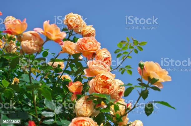 English roses garden in sennan city osaka japan picture id960423082?b=1&k=6&m=960423082&s=612x612&h=cyztazv 7kr1shs8x0vc6yikwq5kyww7xn2nxgwve7y=