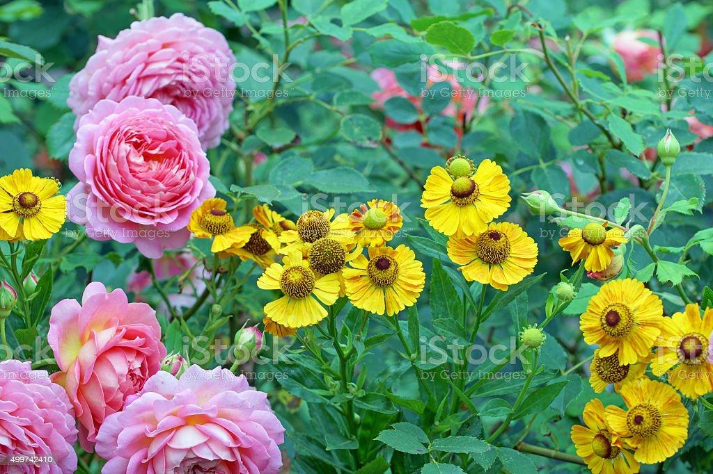 English roses with helenium stock photo