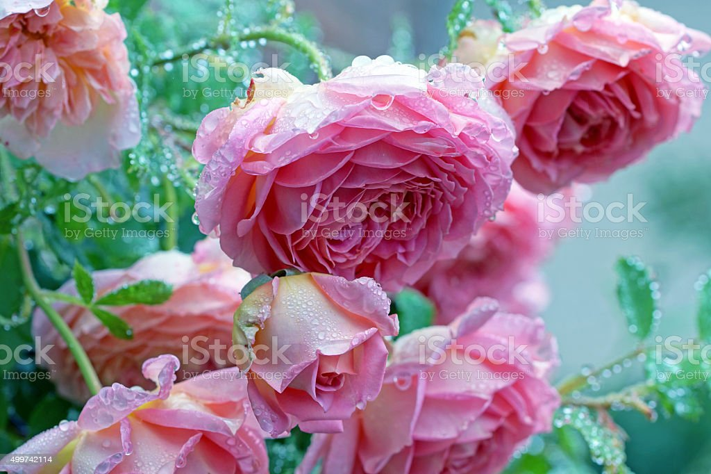 English roses with raindrops stock photo