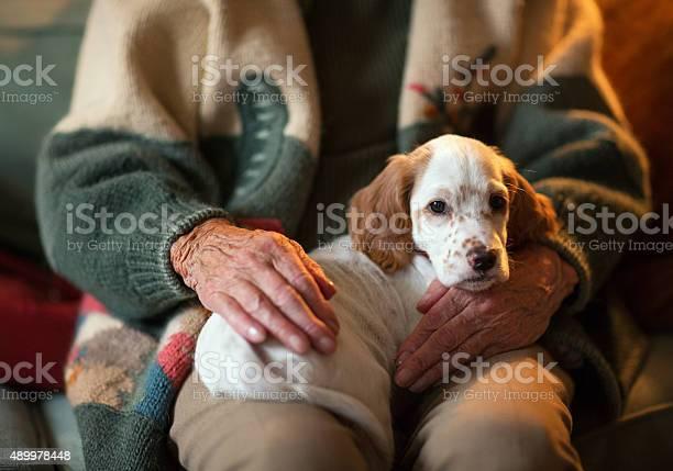 English setter as therapy dog on a senior womans lap picture id489978448?b=1&k=6&m=489978448&s=612x612&h=7ewlqrvnfcvkijlnqxtmpx9ah6soukn7j1veunpy46m=