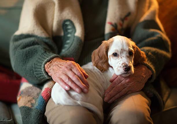 Englischer Setter als Therapie Hund auf einem senior woman's genießen. – Foto